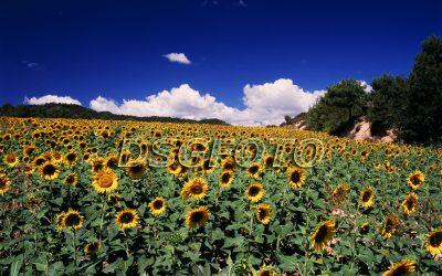 Girasoles, Huesca