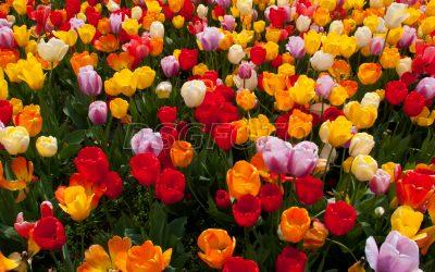 Tulipanea en Amsterdam